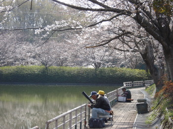 千葉の桜 sakura