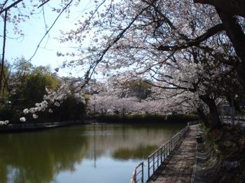 桜 日本池