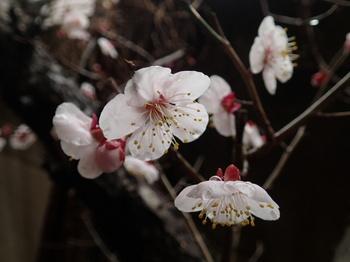 本部道場 梅の花